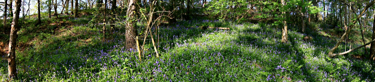 Spinney Trail bluebell panorama