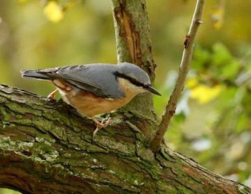 Nuthatch at feeding station.