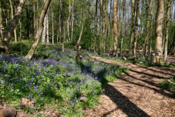 Bluebells on the Spinney Trail